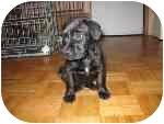 Labrador Retriever Mix Puppy for adoption in London, Ontario - Miller