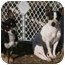Photo 1 - Chihuahua/Rat Terrier Mix Dog for adoption in Derry, New Hampshire - Abby & Molly