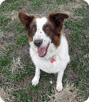 Border Collie Dog for adoption in Denver, Colorado - Bandit
