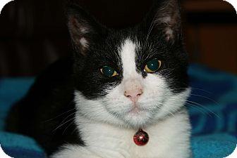 Domestic Shorthair Kitten for adoption in Berlin, Connecticut - Zingabo