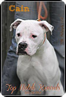 Boxer/American Bulldog Mix Dog for adoption in Elmhurst, Illinois - Cain