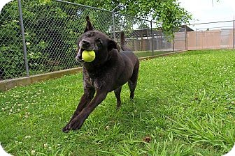 Labrador Retriever Mix Dog for adoption in White River Junction, Vermont - Annabelle