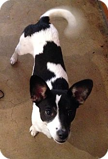 Rat Terrier/Terrier (Unknown Type, Small) Mix Dog for adoption in Los Angeles, California - Abigail