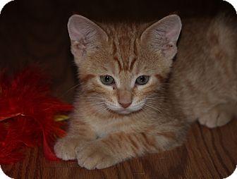 American Shorthair Kitten for adoption in Largo, Florida - Orange Tiger Male