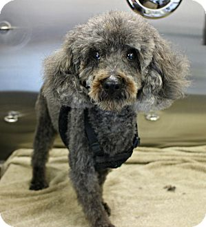 Poodle (Miniature) Dog for adoption in Forked River, New Jersey - Alfred