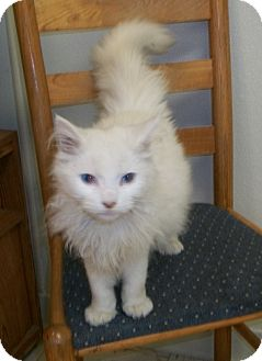 Domestic Longhair Cat for adoption in Martinsville, Indiana - Jimmy