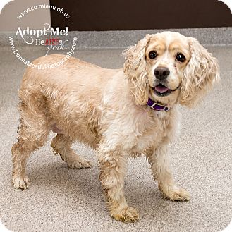 Cocker Spaniel Dog for adoption in Troy, Ohio - Sunny-ADOPTED