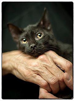 Domestic Shorthair Kitten for adoption in Freeport, New York - Shiraz