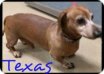 Dachshund Dog for adoption in Lewisville, Texas - Texas