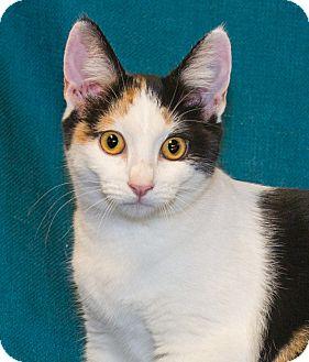 Domestic Shorthair Kitten for adoption in Elmwood Park, New Jersey - Gilly
