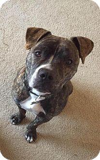 American Staffordshire Terrier/Boxer Mix Dog for adoption in Grand Rapids, Michigan - Viper