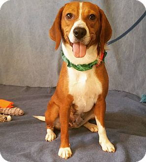 Beagle/Boxer Mix Dog for adoption in Cannelton, Indiana - Roxanne