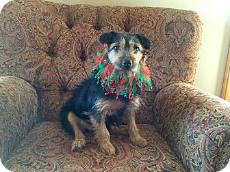 Jack Russell Terrier/Terrier (Unknown Type, Small) Mix Dog for adoption in Blue Bell, Pennsylvania - Etsy