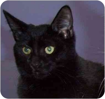 Domestic Shorthair Cat for adoption in Virginia Beach, Virginia - Moonlight