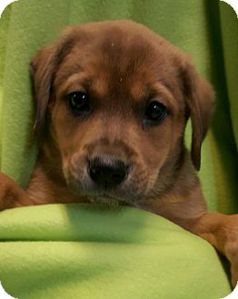 Labrador Retriever Mix Puppy for adoption in Pompton Lakes, New Jersey - TESS LITTER