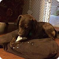 Adopt A Pet :: Holly - Waterbury, CT