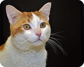 Domestic Mediumhair Cat for adoption in International Falls, Minnesota - Kyo
