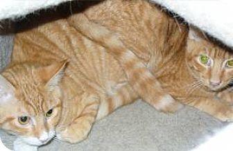 Domestic Mediumhair Cat for adoption in Phoenix, Arizona - Calvin / Hobbs