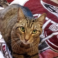 Domestic Shorthair Cat for adoption in Tampa, Florida - Caesar