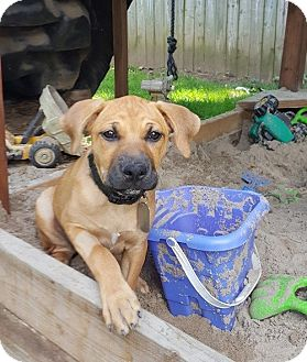 Pit Bull Terrier/American Pit Bull Terrier Mix Puppy for adoption in Dayton, Ohio - Aveda