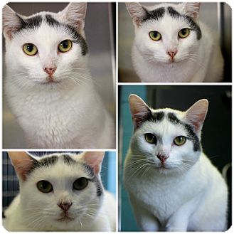 Domestic Shorthair Cat for adoption in Forked River, New Jersey - Anya