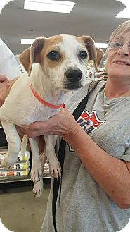 Rat Terrier/Beagle Mix Puppy for adoption in Olympia, Washington - Betty