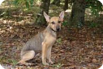 Shepherd (Unknown Type) Mix Puppy for adoption in Rexford, New York - Juli