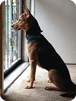 German Shepherd Dog Mix Dog for adoption in Portland, Maine - Brinkley
