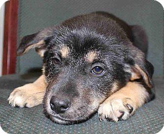 German Shepherd Dog Mix Puppy for adoption in Portland, Maine - Payson