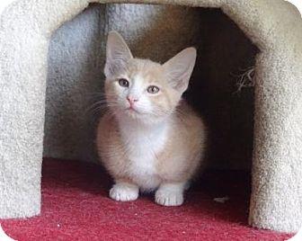 Domestic Shorthair Kitten for adoption in Lathrop, California - Jader