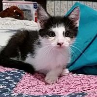 Domestic Shorthair Kitten for adoption in Tracy, California - Thumper