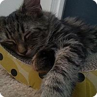 Adopt A Pet :: Arya/Callie - Great Mills, MD