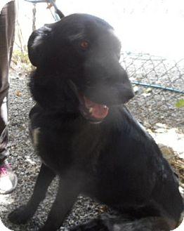 Labrador Retriever/German Shepherd Dog Mix Dog for adoption in Yucaipa, California - Heidi