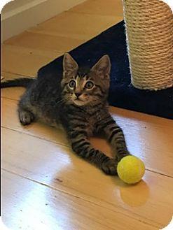 Domestic Shorthair Kitten for adoption in Walnut Creek, California - Spider