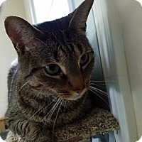 Domestic Shorthair Cat for adoption in Davison, Michigan - Kris Kringle