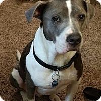 American Pit Bull Terrier/Boxer Mix Dog for adoption in Huntsville, Alabama - Jack