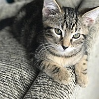 Adopt A Pet :: Thatcher - Columbus, OH