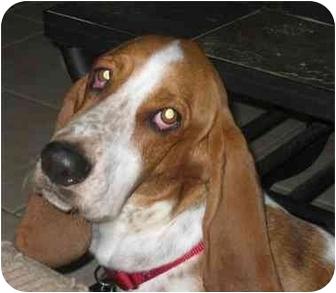 Basset Hound Dog for adoption in Phoenix, Arizona - Rosie