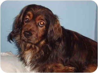 King Charles Spaniel/Lhasa Apso Mix Dog for adoption in Bristow, Oklahoma - Tigger