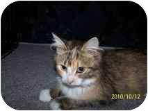 Domestic Mediumhair Cat for adoption in Morden, Manitoba - Calliope