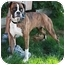 Photo 3 - Boxer Dog for adoption in Berkeley, California - Grace Kelly