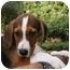 Photo 3 - Beagle/Labrador Retriever Mix Puppy for adoption in Cocoa, Florida - Beagle Mix 3