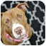 Photo 2 - American Pit Bull Terrier Mix Dog for adoption in Reisterstown, Maryland - Addison