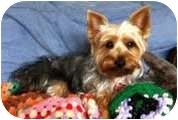 Silky Terrier/Terrier (Unknown Type, Small) Mix Dog for adoption in Encino, California - Desi