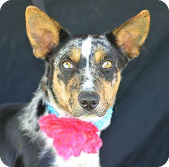 Catahoula Leopard Dog Mix Dog for adoption in Plano, Texas - Sassy