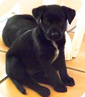 Labrador Retriever/Rottweiler Mix Puppy for adoption in Miami, Florida - Oliver