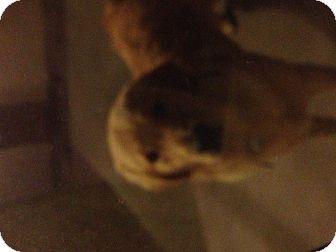 Golden Retriever Dog for adoption in Whittier, California - Tucker