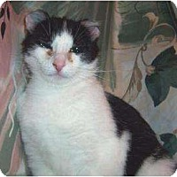Domestic Shorthair/Domestic Shorthair Mix Cat for adoption in Saskatoon, Saskatchewan - Friday