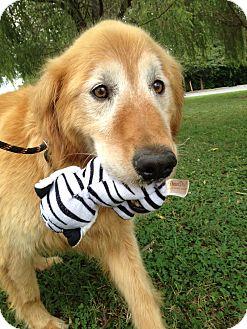 Golden Retriever Mix Dog for adoption in Knoxville, Tennessee - Bennie