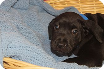 Labrador Retriever Mix Puppy for adoption in Waldorf, Maryland - Turbo